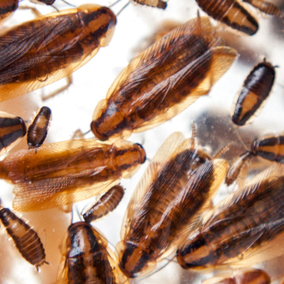 Coachroaches